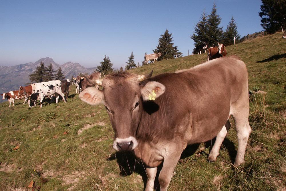 Vaches du Lity