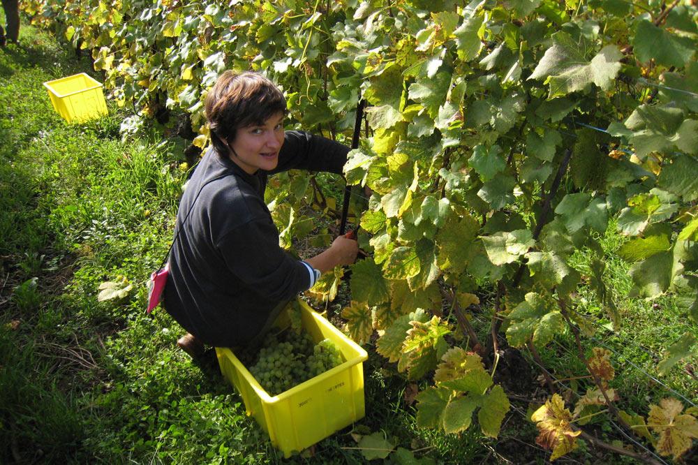 Les vendanges des vignes de Constant Jomini
