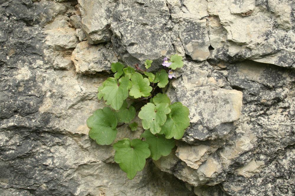 Plante accrochée à la pierre