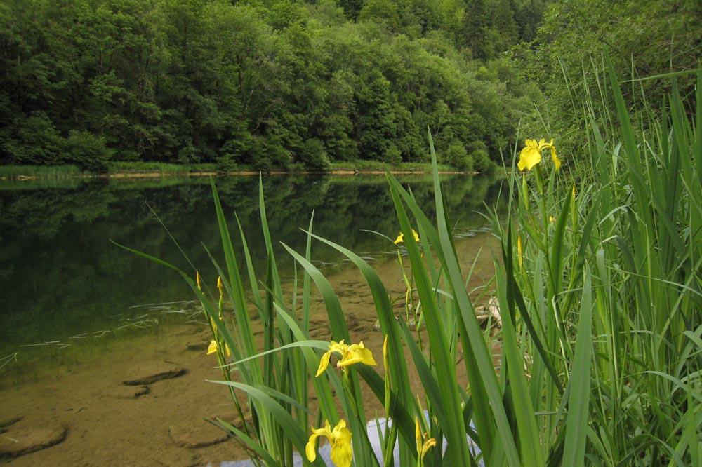 Iris faux acore sur les les rives du Doubs