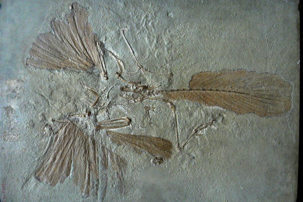 Fossile d'Archéoptéryx