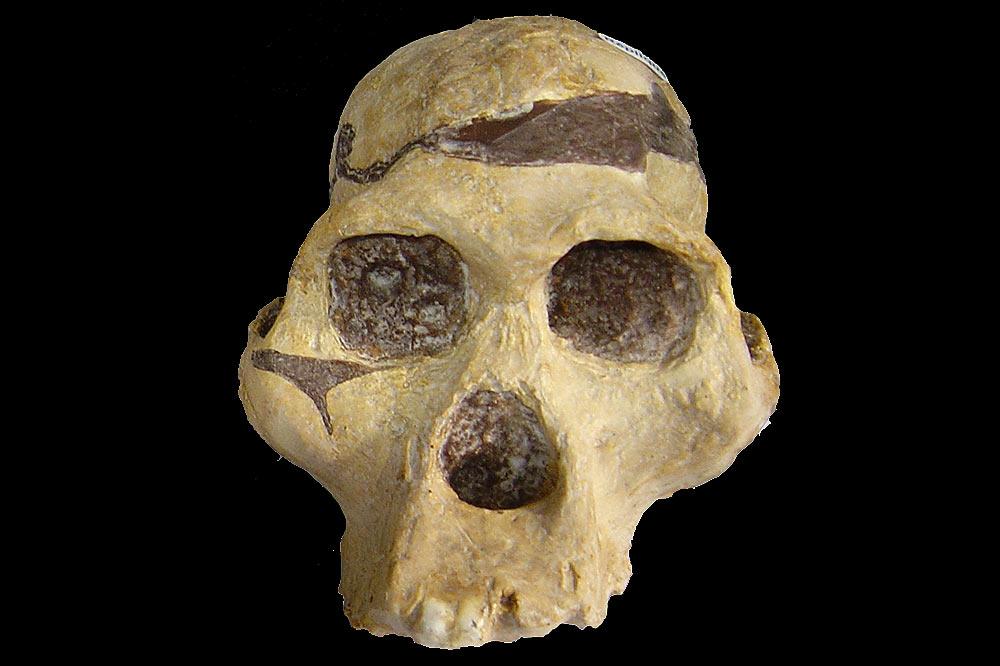 Crane d'australopithecus