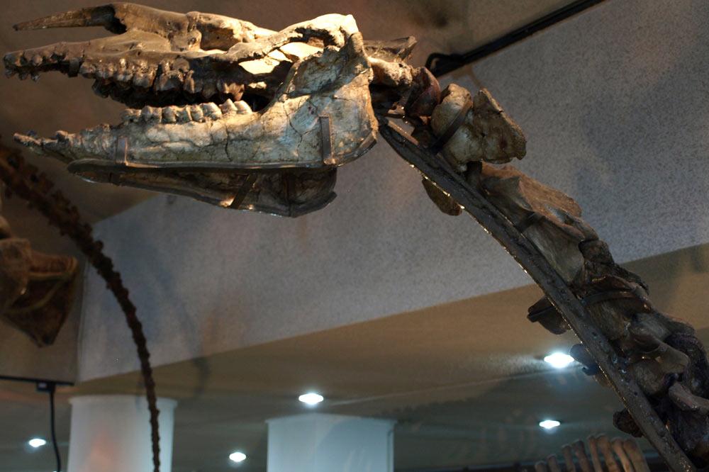 Crâne de Baluchithérium