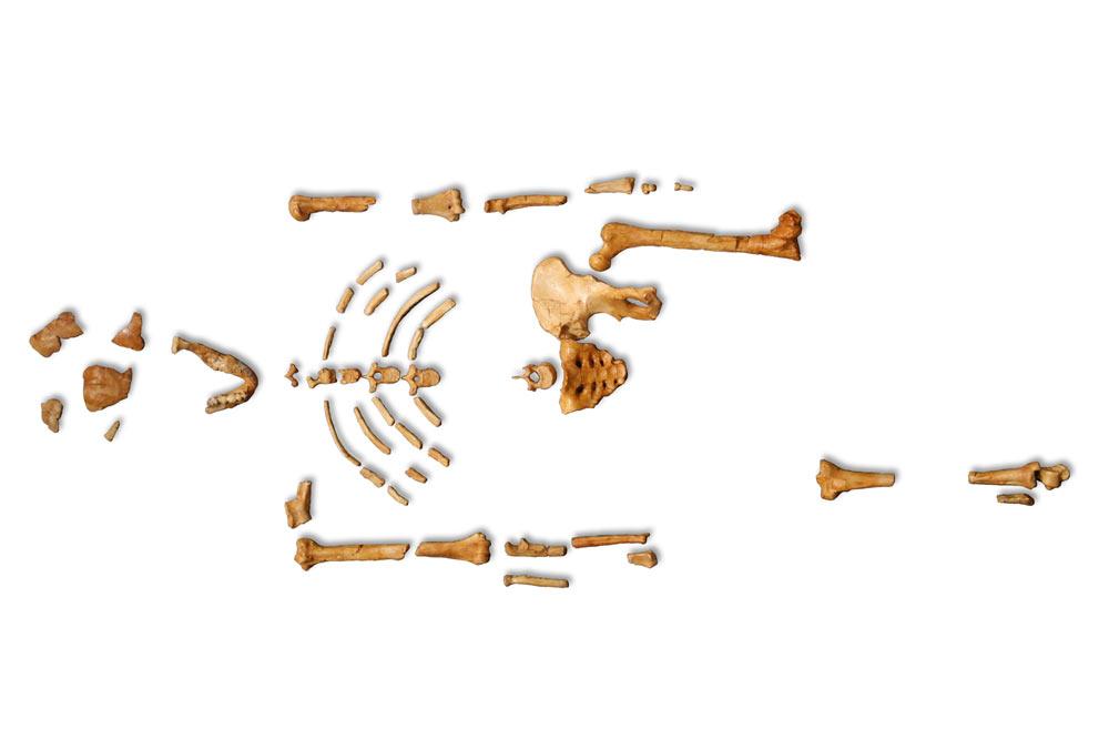 Squelette de Lucy