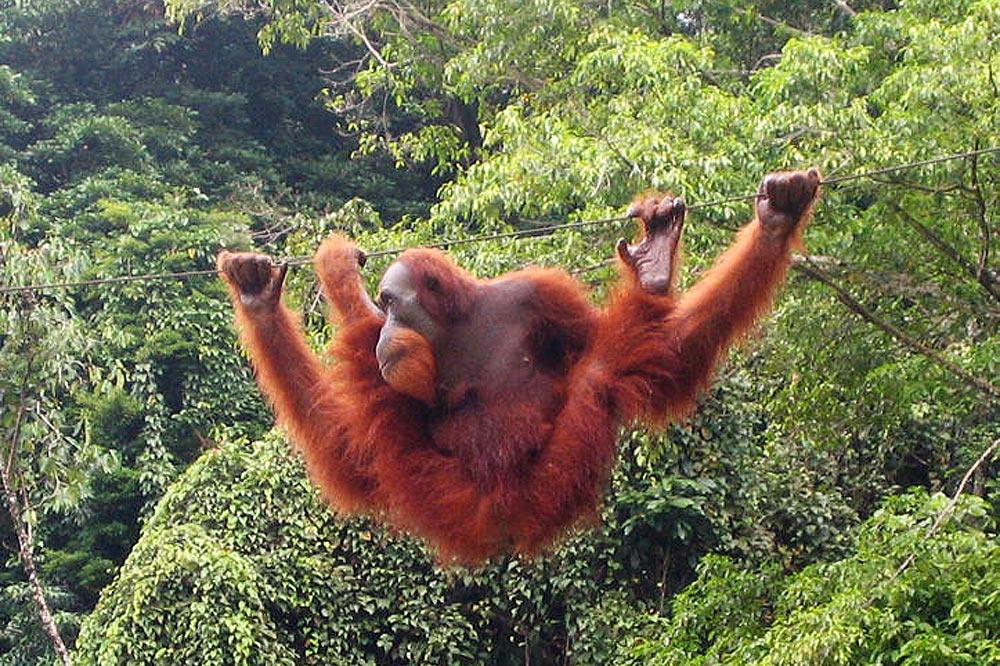 Les orangs-outans seraient les descendants les plus directs du Dryopithecus