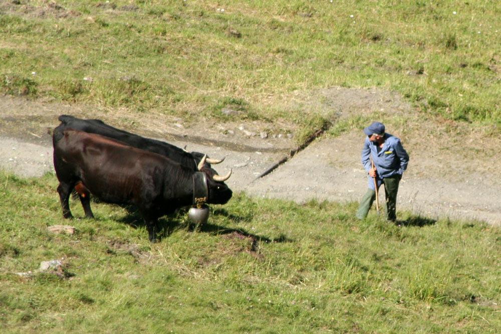 Berger et ses vaches