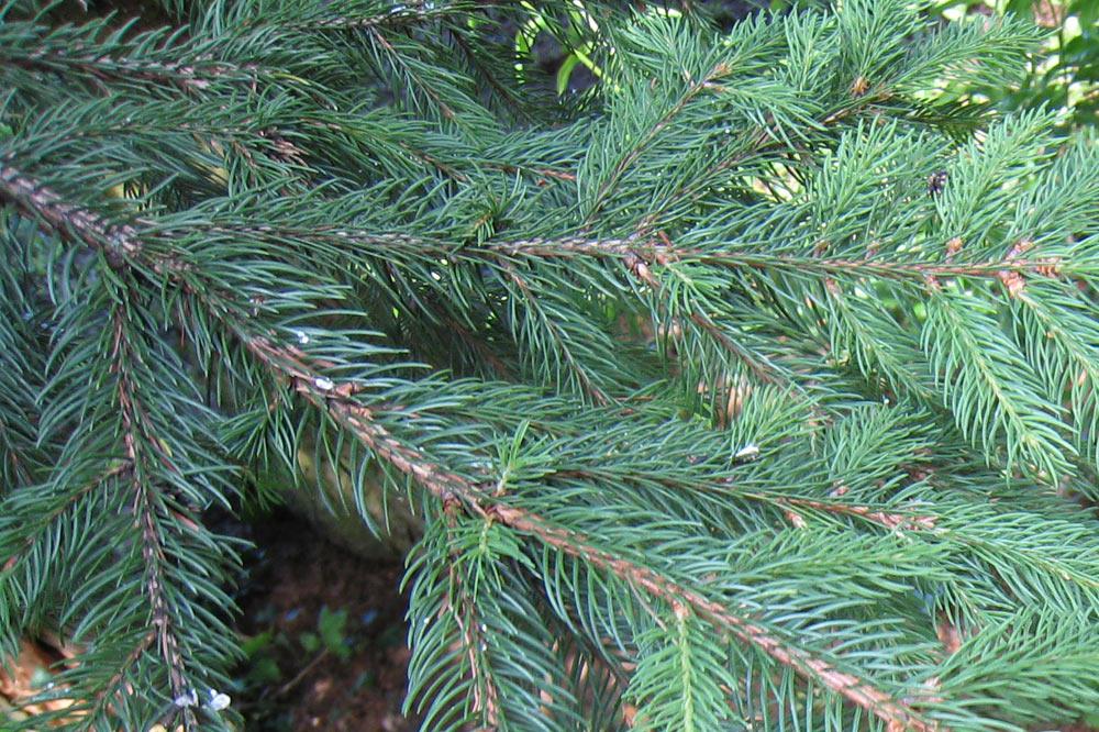 Branche d'épicéa