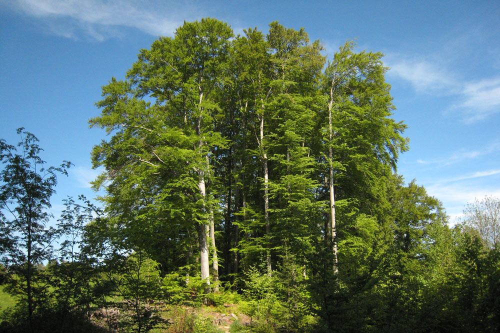 Bosquet d'arbre en lisière, vers Penau